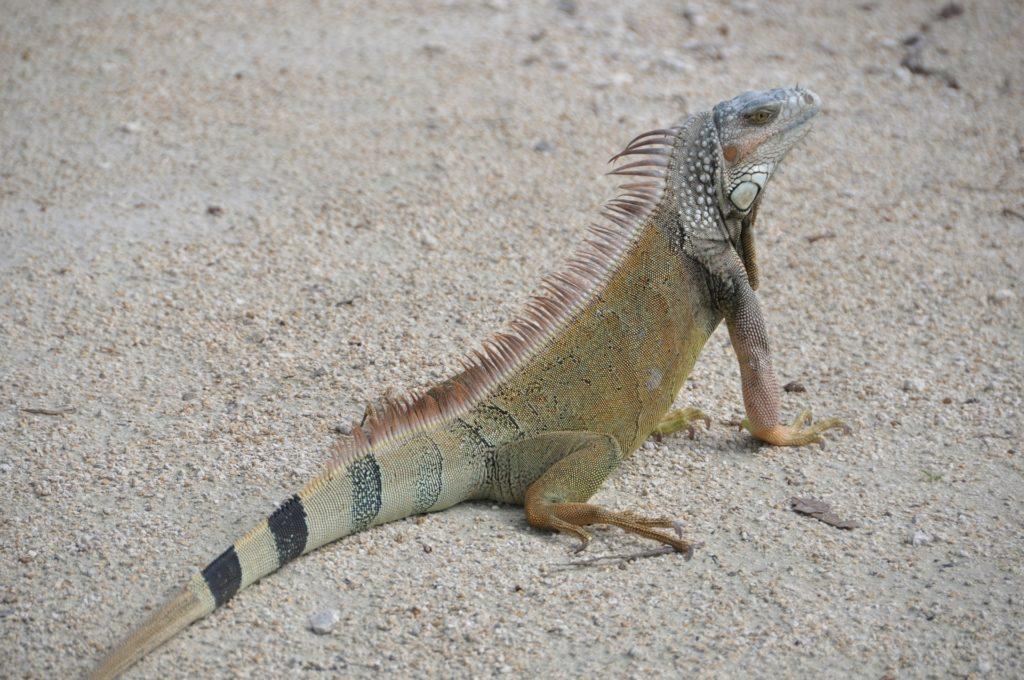 iguana イグアナ