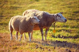 羊 複数形