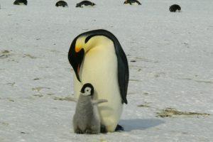 ペンギン 赤ちゃん